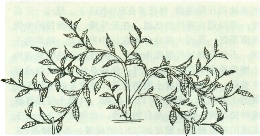 定型修剪仅用于幼龄茶树的树冠培育图片