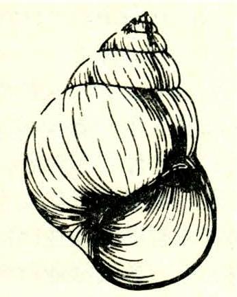 中国圆田螺